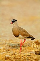 Africa, Namibia. Crowned Plover or Lapwing Fine Art Print