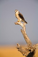 Africa, Naminia, Etosha NP, Black Winged Kite bird Fine Art Print