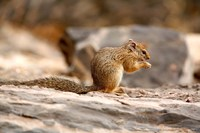 Africa. Tree Squirrel feeding on the ground Fine Art Print
