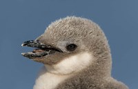 Antarctica, Half Moon Island, Chinstrap penguin chick by Jaynes Gallery - various sizes
