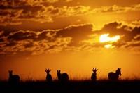 Common Burchelli's Zebras and Topi, Masai Mara Game Reserve, Kenya by Alison Jones - various sizes