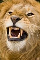 Africa, Kenya, Masai Mara, male lion bearing teeth. Fine Art Print