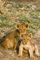 Africa, Tanzania, Katavi, lion cubs playing Fine Art Print