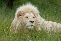 African lion, Inkwenkwezi Private Game Reserve, East London, South Africa by Cindy Miller Hopkins - various sizes