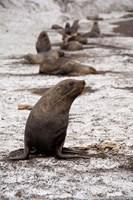 Antarctica, Deception Island Antarctic fur seal by Cindy Miller Hopkins - various sizes