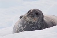 Antarctica, Paradise Harbour, Fat Weddell seal by Cindy Miller Hopkins - various sizes
