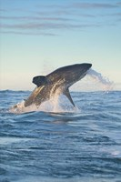 Cape Town, Great white shark moves to strike a seal Fine Art Print