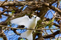 Fairy Turn bird in Trees, Fregate Island, Seychelles Fine Art Print