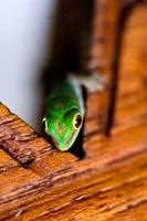 Gecko lizard, Fregate Island Resort, Seychelles Fine Art Print