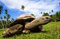 Giant Tortoise on Fregate Island, Seychelles Fine Art Print