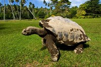 Giant Tortoise, Seychelles by Alison Wright - various sizes