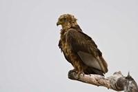 Africa. Tanzania. Bateleur Eagle at Tarangire NP by Ralph H. Bendjebar - various sizes