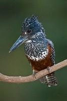 Africa. Tanzania. Giant Kingfisher in Manyara NP. by Ralph H. Bendjebar - various sizes