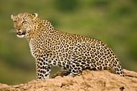 African Leopard, Masai Mara Game Reserve, Kenya Fine Art Print