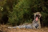 African Leopard, Masai Mara GR, Kenya Fine Art Print