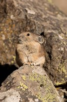 American Pika in rocks, Yellowstone NP, USA Fine Art Print