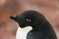 Antarctica, Brown Bluff, Adelie penguin by Jaynes Gallery - various sizes