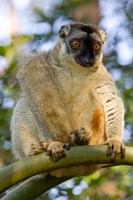 Brown Lemur in a tree in Madagascar Fine Art Print