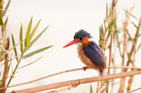 Close-up of Malachite kingfisher, Chobe National Park, Botswana by Jaynes Gallery - various sizes