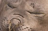 Female elephant seal, South Georgia Island, Antarctica by Jaynes Gallery - various sizes