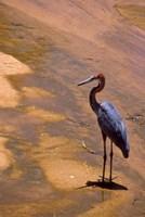 Buffalo Springs National Reserve, Goliath Heron, Kenya by Alison Jones - various sizes