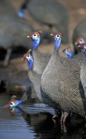 Flock of Helmeted Guineafowl, Savuti Marsh, Chobe National Park, Botswana Fine Art Print