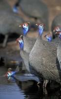 Flock of Helmeted Guineafowl, Savuti Marsh, Chobe National Park, Botswana by Paul Souders - various sizes - $40.99