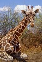 Giraffe lying down, Loisaba Wilderness, Laikipia Plateau, Kenya by Alison Jones - various sizes - $40.99