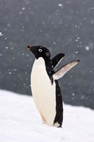 Adelie Penguin in Falling Snow, Western Antarctic Peninsula, Antarctica by Steve Kazlowski - various sizes