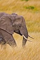 African Elephant Grazing, Maasai Mara, Kenya Fine Art Print