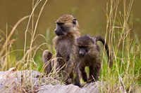 Baboons in the bush in the Maasai Mara Kenya. (RF) Fine Art Print