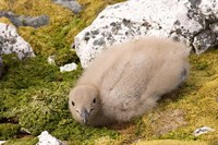 Brown skua bird chick, western Antarctic Peninsula Fine Art Print