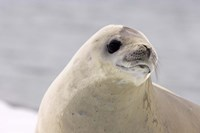 Close up of Crabeater seal, Antarctica Fine Art Print