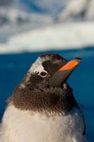 Gentoo penguin chick, Western Antarctic Peninsula Fine Art Print
