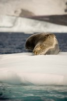 Antarctica. Leopard seal adrift on ice flow. Fine Art Print
