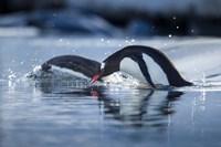 Antarctica, Anvers Island, Gentoo Penguins diving into water. by Paul Souders - various sizes