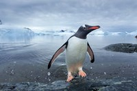 Antarctica, Cuverville Island, Gentoo Penguin leaping onto shore. Fine Art Print