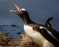 Antarctica, Cuverville Island, Portrait of Gentoo Penguin nesting. Fine Art Print