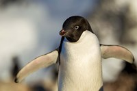 Adelie Penguin portrait, Antarctica by Paul Souders - various sizes