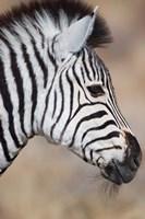 Burchell's Zebra, Etosha National Park, Namibia Fine Art Print