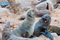 Cape Fur seals, Skeleton Coast, Kaokoland, Namibia. Fine Art Print