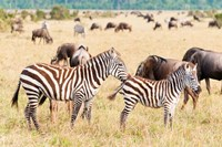 Common Zebra or Burchell's Zebra, Maasai Mara National Reserve, Kenya Fine Art Print
