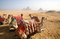 Egypt, Cairo, Camels, desert sands of Giza Pyramids Framed Print