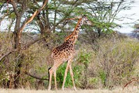 Giraffe, Maasai Mara National Reserve, Kenya by Nico Tondini - various sizes