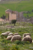 Grazing sheep by the Capitole, UNESCO site, Dougga, Tunisia by Walter Bibikow - various sizes