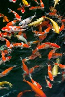 China, Hong Kong, Kowloon, Koi carp in Nan Lian Garden Fine Art Print