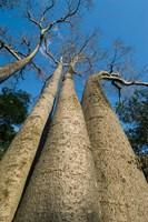 Baobab Trees, Ampijoroa-Ankarafantsika NP, MADAGASCAR by Kevin Schafer - various sizes