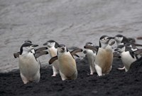Chinstrap Penguin on the beach, Deception Island, Antarctica by Keren Su - various sizes