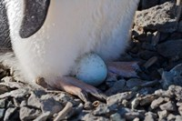 Adelie Penguin nesting egg, Paulet Island, Antarctica by Keren Su - various sizes