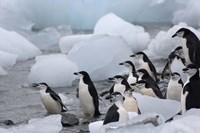 Chinstrap Penguins, South Orkney Islands, Antarctica by Keren Su - various sizes